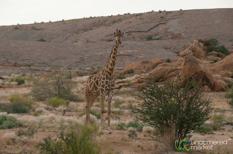 Baby Giraffe - Augrabies National Park, South Africa