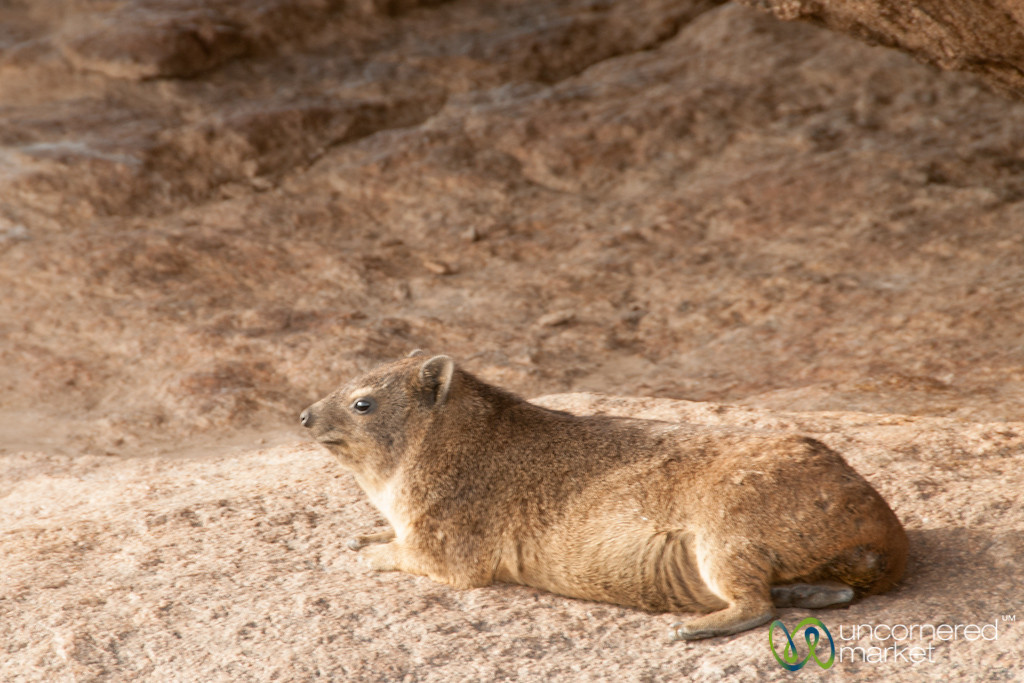 Rock Dassie - Augrabies National Park, South Africa