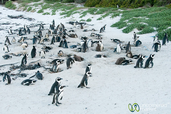 African Penguins at Boulders Beach - Cape Town, South Africa