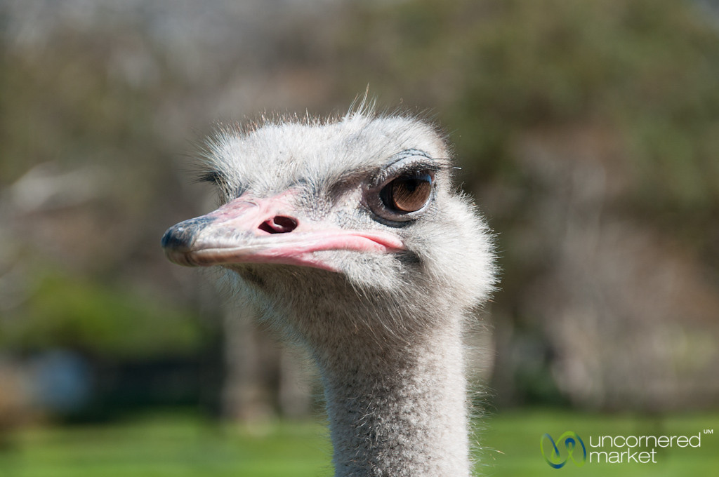 Ostrich Farm near Cape Point - Cape Town, South Africa