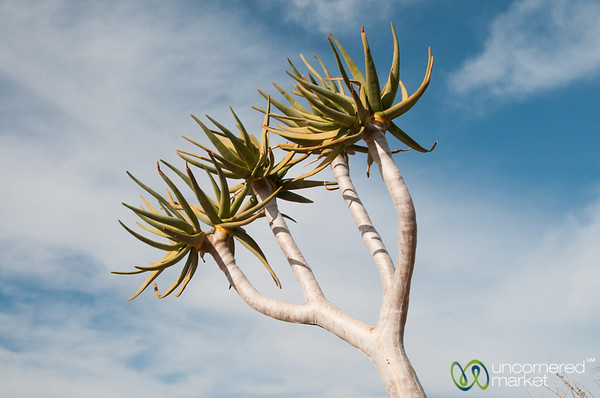 Augrabies National Park, Quiver Tree - Northern Cape, South Africa