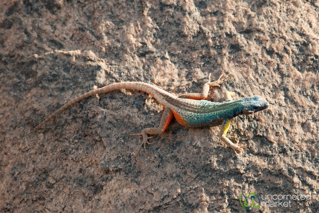 Broadley's Flat Lizard in Augrabies National Park - Northern Cape, South Africa
