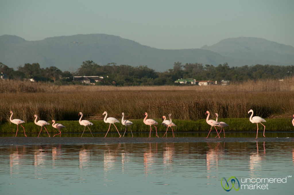 Flamingos in a Row - Western Cape, South Africa