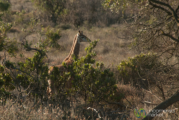 Baby Giraffe at Buffelsfontein Game Park - Western Cape, South Africa