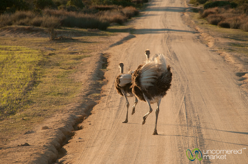 Running Ostriches - Buffelsfontein Private Game Reserve, South Africa