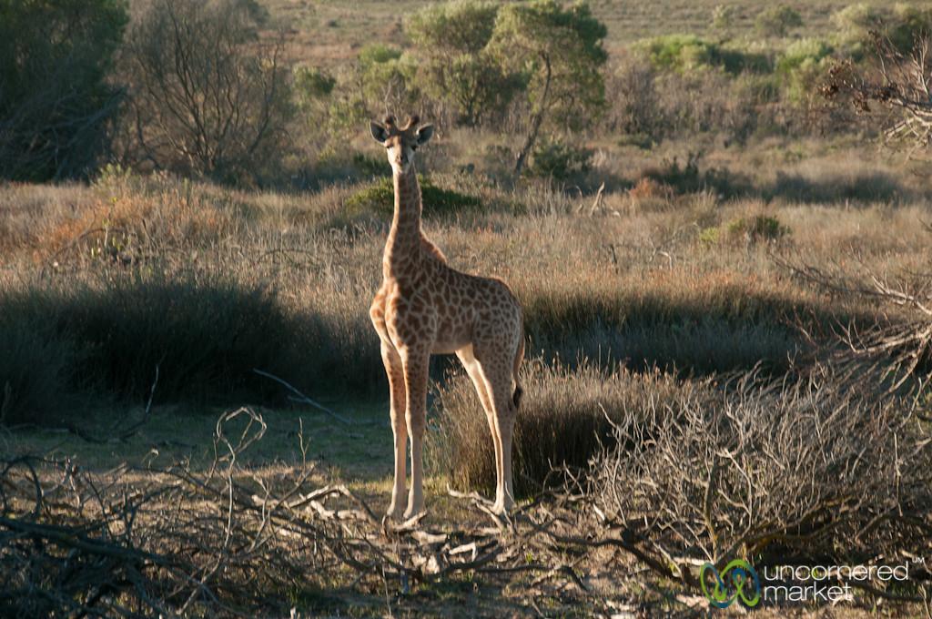 Baby Giraffe at Buffelsfontein Game Park - Western Cape, South Africa