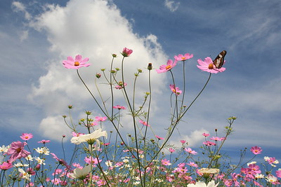 Cosmos with butterfly