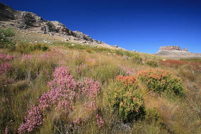 Fynbos in the Cederberg Wilderness, near Tafelberg