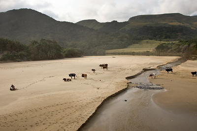 Cattle on Transkei beach