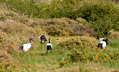 Sacred ibis near Eland's Bay