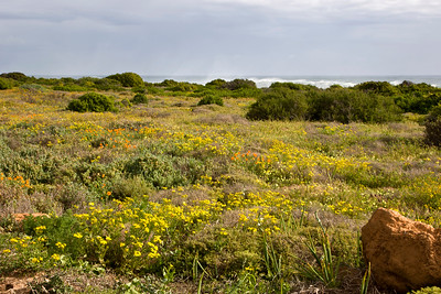Wildflowers near Eland's Bay