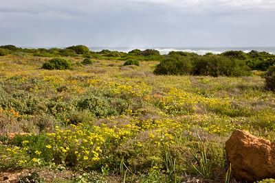 Wildflowers near Eland's Bay