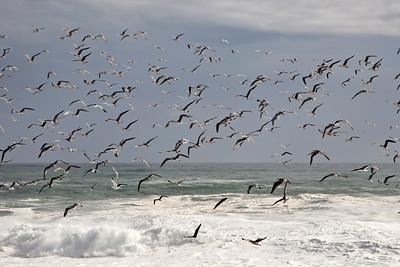 Sea birds take flight near Eland's Bay