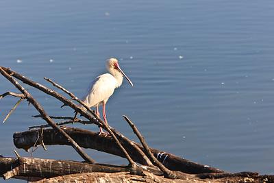 African Spoonbill {Platalea alba}