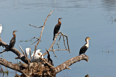 African darters, seen here with white-breasted cormorant and cattle egrets