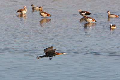 African darter, Egyptian geese in background