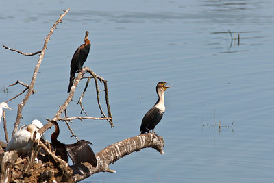 African darters and white-breasted cormorant