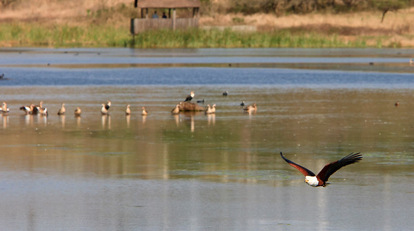 African fish eagle.  In the background are Egyptian geese.