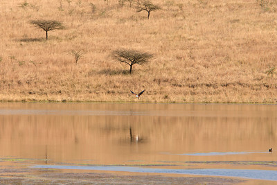 African fish eagle with its fish