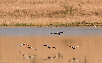 African fish eagle with its fish, in the foreground are Egyptian geese