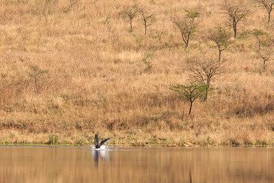 African fish eagle makes a catch