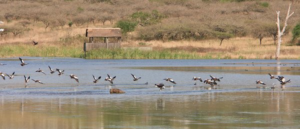 African fish eagle with its fish, in the background are Egyptian geese