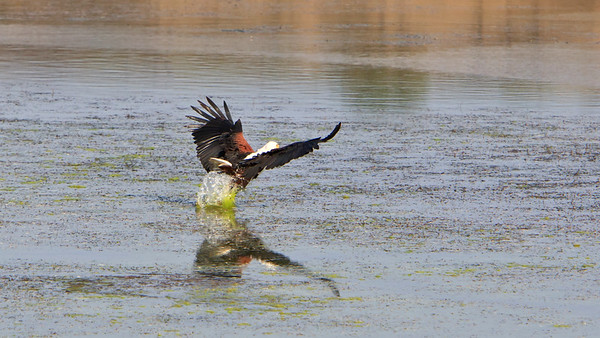 African fish eagle grabs for a fish