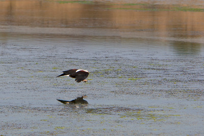 African fish eagle swoops in for a fish