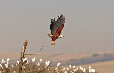 African fish eagle takes flight over a flock of cattle egrets