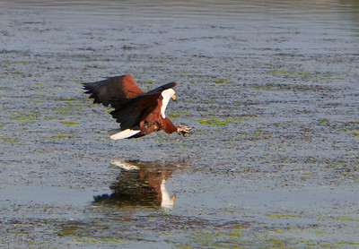 African fish eagle, talons stretched for its hoped-for fish catch