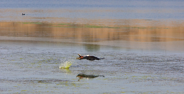 African fish eagle, grabbing for, but missing the fish