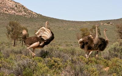 Ostrich - Mating ritual