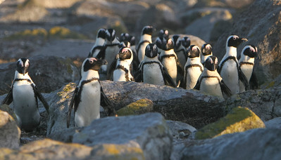 African penguins on Dassen Island