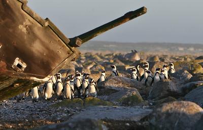 African penguins on Dassen Island
