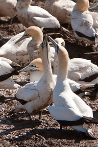 Cape gannet colony, Bird Island
