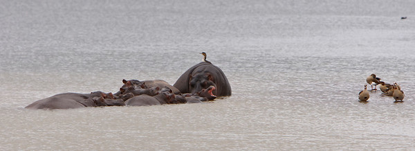 Egyptian geese and hippos