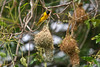 Masked weaver nest building