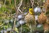Masked weaver nest building