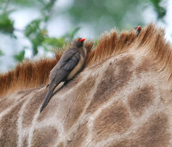 Red-billed oxpecker on the neck of a giraffe