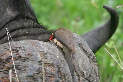 Red-billed oxpecker on the horn of a Cape buffalo