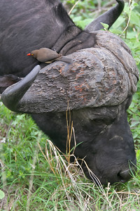 Red-billed oxpecker on the horns of a Cape buffalo