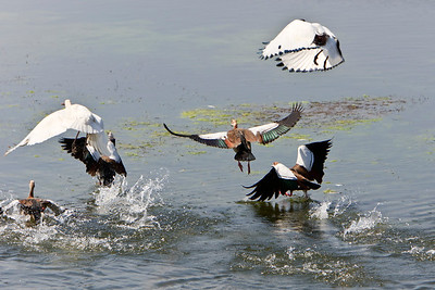 African sacred ibis take flight with Egyptian geese