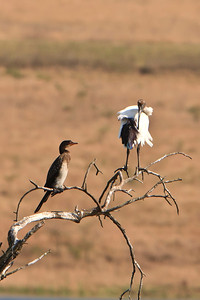African sacred ibis and white breasted cormorant