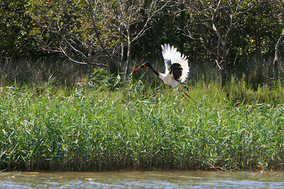Saddle-billed stork flying along the shoreline of Lake St. Lucia