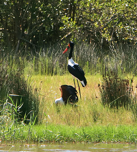 Saddle-billed stork seen here with an African fish eagle stealing its fish, along the shores of Lake St. Lucia.