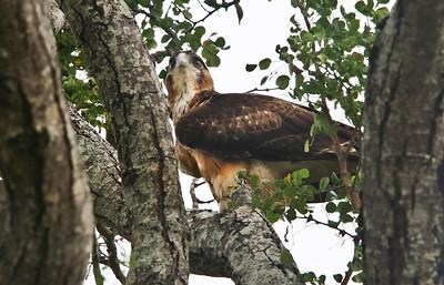 Steppe buzzard