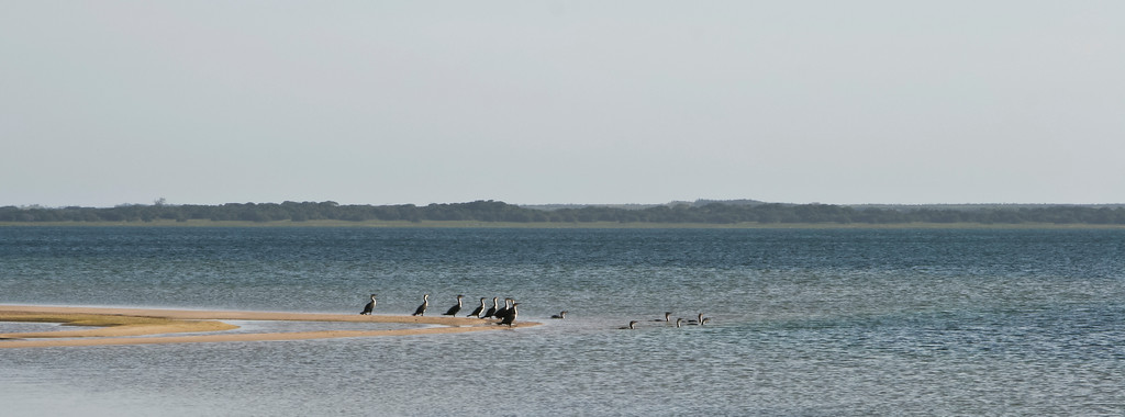 White-breasted cormorants on the shores of Lake Sibiya