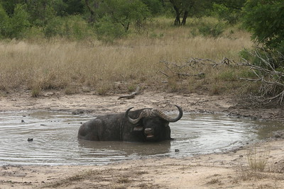 African (Cape) buffalo, Kruger National Park, South Africa