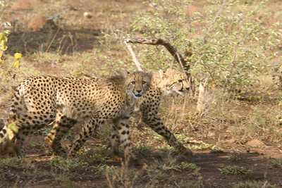 Cheetah, mother and cub