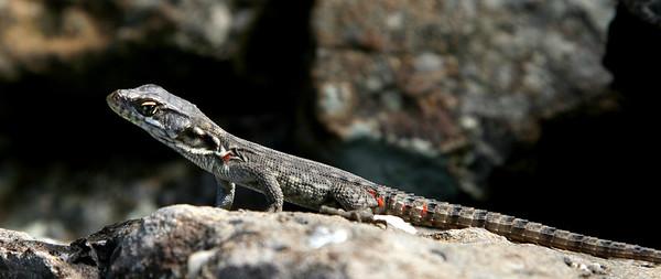 Drakensberg Crag Lizard (molting)